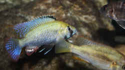 Astatotilapia calliptera Männchen