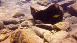 Pflanzen im Aquarium Lake Malawi Cichlids