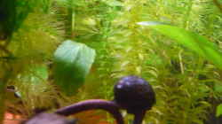 Pflanzen im Aquarium Scarlet`s Home (aufgelöst)