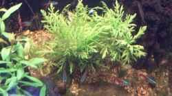 Indischer Wasserwedel (Hygrophila difformis)