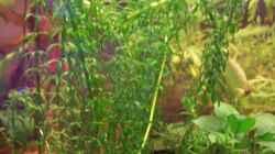 Afrikanische Wasserpest (Lagarosiphon major)
