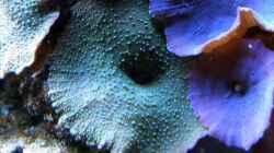 Pflanzen im Aquarium Meerwasser Geisler