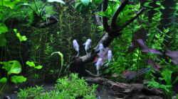 Corydoras panda/Panda Panzerwels