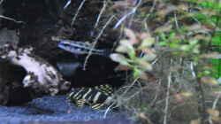 Peckoltia compta & Dicrossus filamentosus