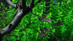 Nannostomus mortenthaleri / Peru Ziersalmler