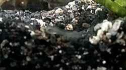 Erste Bilder von den Metallpanzerwelslarven