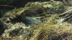 Besatz im Aquarium Chao phraya