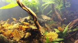 Pflanzen im Aquarium Chao phraya