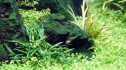 Pflanzen im Aquarium Durchs grüne Tal... - aufgelöst -