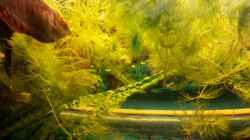 Schwimmende Cabomba
