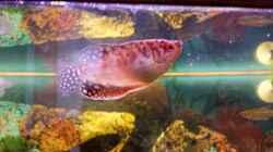 Gold-Fadenfisch-Weibchen
