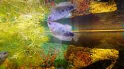 Marmor-Fadenfisch-Mann