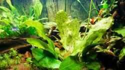 Echinodorus Dschungelstar