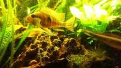 Besatz im Aquarium Teufelsbecken