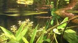 Boulengerella maculata