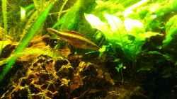 crenicichla notophthalmus Weibchen