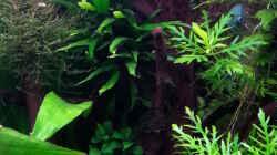 Dekoration im Aquarium Gesellschaftsdickicht