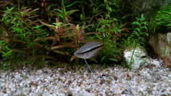 Honigguramie Jungfisch