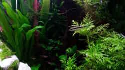 Pflanzen im Aquarium Gesellschaftsdickicht