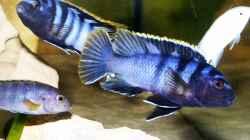 Labidochromis sp. `mbamba` Männchen beim kampf um ein Weibchen.C
