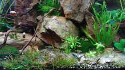 Barbus (Puntius) gelius, goldfarben schwarz gestreift -relativ selten