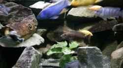 Besatz im Aquarium Mein Malawi im Wohnzimmer