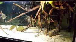 Besatz im Aquarium Altum Wurzelbiotop