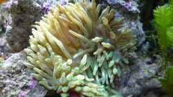 Hawaii Anemone
