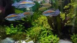 links Rotalla green, daneben Hygrophila und Echinodorus Red Camäleon, davor klein