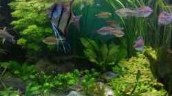 hinten Lymnophyla sessiliflora - die schnellste im Becken