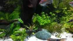 die 9 Jahre alten Sturisoma festivum - Störwels
