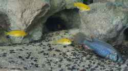 Astatotilapia calliptera +Labidochromis cearuleus yellow kakusa