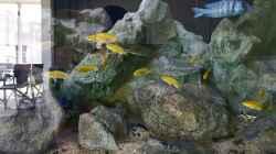 15 Labidochomis cearuleus yellow kakusa - Aqua Treff - Bild am ersten Tag im Becken