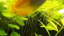Honiggurami/ Honigfadenfisch  -Trichogaster chuna