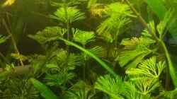 Cabomba aquatica -Feinblättrige Cabomba