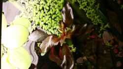 Ludwigia inclinata `Red