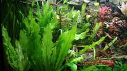 Pflanzen im Aquarium Juwel 450