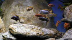 Besatz im Aquarium Malawibecken