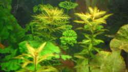Pflanzen im Aquarium mini becken