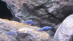 Pseudotropheus pulpican