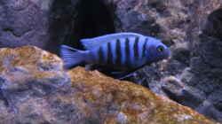 Besatz im Aquarium etwas größere Malawi Pfütze