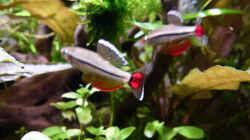 Imponierende Vietnamesische Kardinalfische b