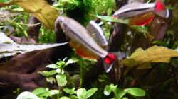 Imponierende Vietnamesische Kardinalfische c
