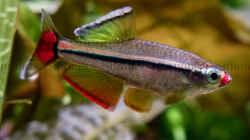 Imponierender Vietnamesischer Kardinalfisch