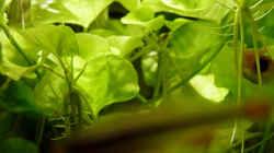 Nymphoides sp. Taiwan