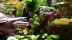 Imponierende Vietnamesische Kardinalfische a