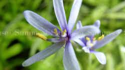 Blüte vom Trugkölbchen
