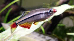 Vietnamesischer Kardinalfisch
