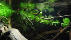 Dekoration im Aquarium Südamerikapfütze II
