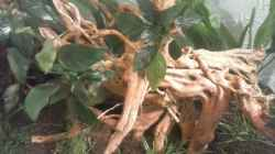 Anubias barteri var. nana - Zwergspeerblatt, auf roter Moorwurzel festgebunden. Besonders